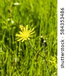 Small photo of Flower, composite plant, Sweden, Norrland, Lapland