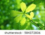 leaves of fresh green. leaves... | Shutterstock . vector #584372836