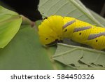 Small photo of Closed up of head shot of a Death's-head hawkmoth (Acherontia sp.)