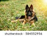 Dog German Shepherd Lying On...