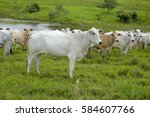 Cattle Nelore On Pasture...
