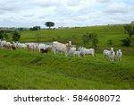 Cattle Nelore On Pasture...