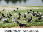 Pigeons On The Green Grass...