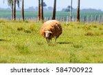 White Sheep On Farm Pasture....