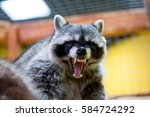 Raccoon Growls