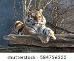 The Siberian Tiger  Panthera...