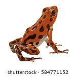Red Poison Dart Or Arrow Frog...