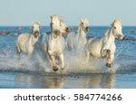 white camargue horses galloping ... | Shutterstock . vector #584774266