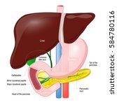 gallbladder duct. anatomy of... | Shutterstock .eps vector #584780116
