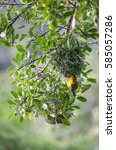 Small photo of Golden weaver bird feeding chicks a nest hanging from tree by a river in the failing evening light in the Nature's Valley at Ebb and Flow on the coast near the town of wilderness, South Africa