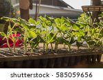 seedlings of pumpkin | Shutterstock . vector #585059656