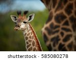 south african giraffe  giraffa... | Shutterstock . vector #585080278