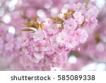 kwanzan cherry tree blooming...   Shutterstock . vector #585089338