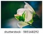 Peach Colored Rose Bud With...