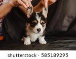 Stock photo dogs puppies corgi 585189295