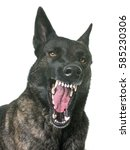 Stock photo dutch shepherd in front of white background 585230306