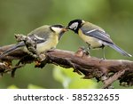 Great Tit Feeding The Kid