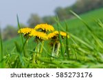 Blooming Dandelion In Green...