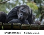 Common Chimpanzee  Pan...