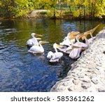 pelicans in the zoo. pelicans... | Shutterstock . vector #585361262