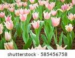 pink tulips flower blooming... | Shutterstock . vector #585456758
