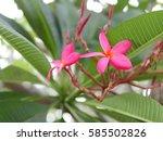 plumeria  frangipani  temple...   Shutterstock . vector #585502826