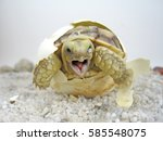 Stock photo close up baby tortoise hatching african spurred tortoise birth of new life cute baby animal 585548075