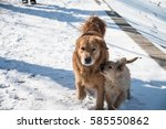 golden dog in the snow | Shutterstock . vector #585550862