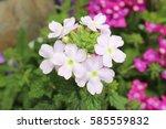 Verbena Flowers Bloom In The...