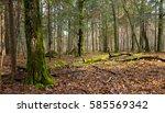Dead Hornbeam Lying Moss...