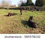 Three Donkey Resting Under The...
