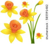 daffodil flower in yellow color ... | Shutterstock .eps vector #585591482