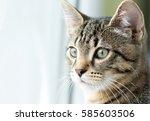 grey cat is looking through the ... | Shutterstock . vector #585603506