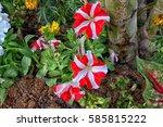 Petunias Hybrida