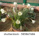 Narcissus Romieuxii 'division...