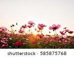 Pink And Red Cosmos Flowers In...