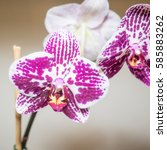 Small photo of Phalaenopsis is a genus of approximately 60 species of orchids (family Orchidaceae). The abbreviation in the horticultural trade is Phal.