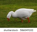 Domestic Goose Eating Grass.