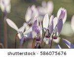 closeup on cyclamen light lit... | Shutterstock . vector #586075676
