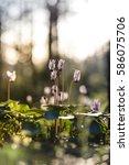 sunlit purple cyclamen... | Shutterstock . vector #586075706