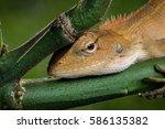 Green Crested Lizard  Black...