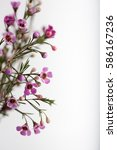 bouquet of pink and white wax...   Shutterstock . vector #586167236