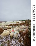 Snow  Sheep And Highland Cattl...