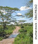 Dirt Road Among Acacia Trees...