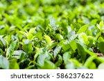 fresh green tea leaves on a tea ... | Shutterstock . vector #586237622