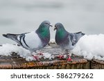 Couple Of Cute Pigeons Mating...