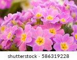 Perennial Primrose Or Primula...