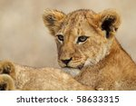 Lion cub, Serengeti, Tanzania - stock photo
