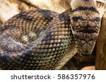 Small photo of Amethystine python (Morelia amethistina) looking down on head. Large snake in family Pythonidae, found in Indonesia, Papua New Guinea and Australia