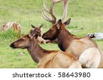 Elk At Pasture